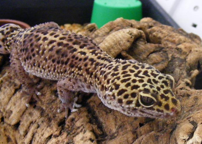 El gecko no es un animal especialmente sociable