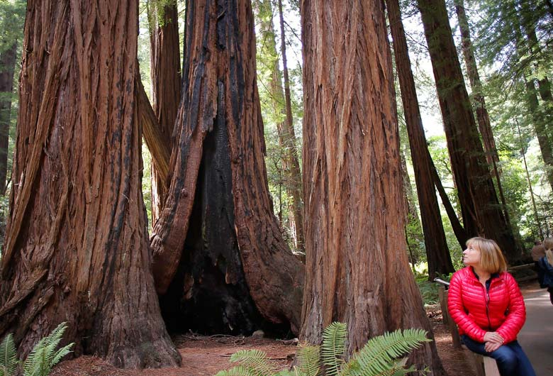 Bosque de Muuir, con sequoias gigantes